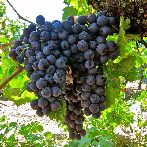انگورهای شهر دلبران